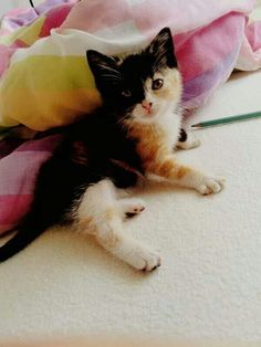 Calico kitten with a black pirate stripe half across its precious little body. A special spirit for sure.