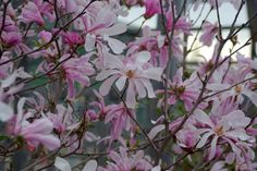 Like Gorgeous White Flowers? Try Some Magnolia Trees and Shrubs: Loebner Magnolia