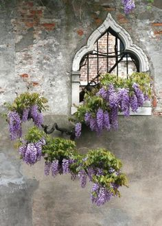 Arched windows with lovely wisteria