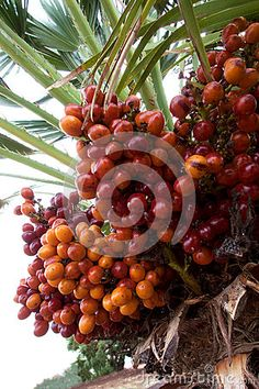 A closeup image of ripe red and orange palm fruit still in a palm tree. This is the fruit which is harvested to extract palm oil and to make palm wine. Palm Oil, Palm Trees, Harvest, Stock Photos, Wine, Orange, Fruit, Vegetables, Red