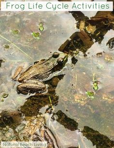 A study on frogs and its life cycle