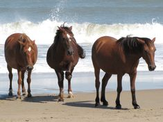 The Wild Spanish Mustangs of Corolla - North Carolina's Outer Banks