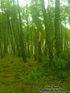 Bosque de pinos en la Sierra de Gredos, termino de Madrigal de la Vera. PInar en la Vera, Caceres, Extremadura, Spain.  Foto cedida por maquinarialavera.es