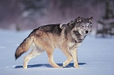 As the ancestor of the domestic dog, the gray wolf resembles German shepherds or malamutes. Description from animalsversesanimals.yuku.com. I searched for this on bing.com/images