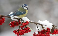 Download Wallpaper Titmouse and a sprig of cranberries - 1280x800