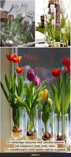 Tulipany w szkle - Do szklanego naczynia włóż cebulkę tulipana  (lub tulipanów)i dolej wody nieco.  Po wykiełkowaniu kwiat będzie pięknie wyglądał.
