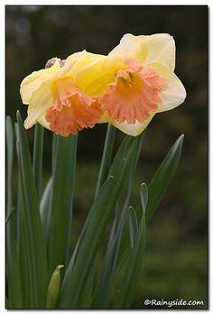 Narcissus 'Lorikeet' -- trumpet daffodil