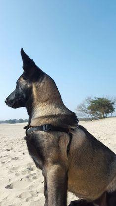 Berger Malinois, Belgian Malinois Dog, Rottweiler, Dutch Shepherd Dog, Belgian Shepherd, Baby Dogs, Pet Dogs, Dogs And Puppies, Belgium Malinois