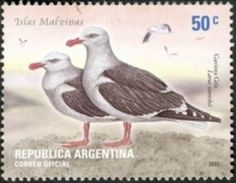 Dolphin Gull (Larus scoresbii)