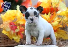 Puppy Finder: Find & Buy a Dog today by using our Petfinder French Bulldog Full Grown, Blue French Bulldog Puppies, French Bulldog For Sale, Bulldog Puppies For Sale, Baby Puppies, French Bulldogs, English Bulldogs, Miniature English Bulldog, Puppy Finder