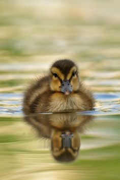 there's something about bunnies and ducklings that make them ALWAYS adorable❣ ~❥ Cute Baby Animals, Farm Animals, Animals And Pets, Beautiful Birds, Animals Beautiful, Duck And Ducklings, Baby Ducks, Swans, Tier Fotos