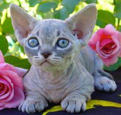 The Minskin Cat - Singapura Cat - ideas of Singapura Cat - The Minskin Cat The post The Minskin Cat appeared first on Cat Gig. Small Cat Breeds, Rare Cat Breeds, Rare Cats, Devon Rex, Cute Kittens, Cats And Kittens, Pretty Cats, Beautiful Cats, Cat Ideas