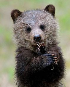 Grizzly Bear cub standing Oh MY Goodness! - Petra Ewers - Grizzly Bear cub standing Oh MY Goodness! Grizzly Bear cub standing Oh MY Goodness! Bear Photos, Bear Pictures, Animal Pictures, Grizzly Bear Cub, Bear Cubs, Baby Bear Cub, Baby Bears, Tiger Cubs, Polar Bears