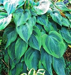 Devil's Advocate Hosta from NH Hostas