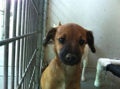 SAFE --- #A473755 Release date 10/9 Came in with sibling #A473756 I am a male, red and black Terrier and Chihuahua - Smooth Coated mix. Shelter staff think I am about 13 weeks old. I have been at the shelter since Oct 02, 2014.   City of San Bernardino Animal Control-Shelter. https://www.facebook.com/photo.php?fbid=10203664439349098&set=a.10203202186593068&type=3&theater