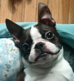 Albert the Boston Terrier lounging in Columbus, Ohio, USA. http://www.bterrier.com/albert-lounging-in-columbus-ohio-usa/  Join, Like & Share : https://www.facebook.com/bterrierdogs