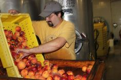 Loading Peaches onto the Peach Pitter