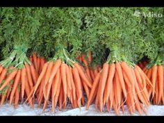 Как вырастить хороший урожай моркови на садовом участке