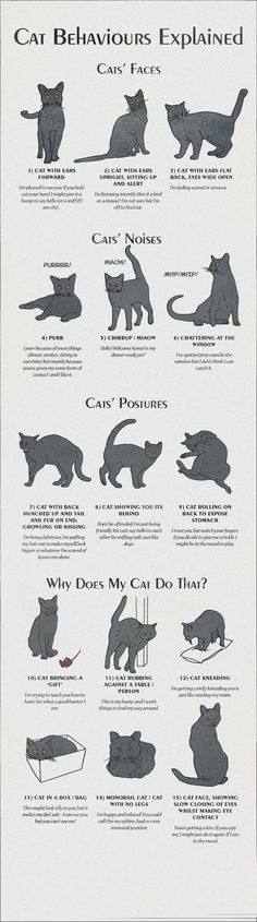 Cats Toys Ideas - Infographic about Cat Behaviours Explained - Most affectionate cat breeds ideas and inspirations - Ideal toys for small cats I Love Cats, Crazy Cats, Cute Cats, Funny Cats, Adorable Kittens, Cat Body, Cat Info, Cat Behavior, Animal Behaviour