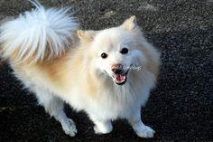 My absolute favorite! Pomeranian american eskimo toy hybrid.
