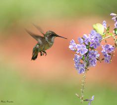Série com um beija-flor - Series with a hummingbird - 01-12-2008 - IMG_20081201_9999_275 | por Flávio Cruvinel Brandão