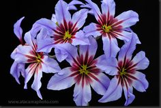 Flor de Cebollín púrpura (Leucocoryne purpurea)