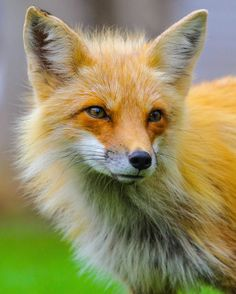 Red Fox by Glen and Rosalyn Strickey on 500px