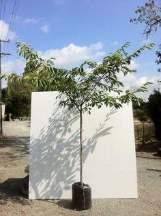 The North Harbour Big Tree Company - Trees - Deciduous Tree Company, Prunus, Big Tree, Cherry, Trees, Peach, Home Decor Trees, Wood, Plant