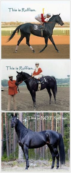 The horse in the last photo has been identified as Ruffian all over Pinterest. He's  not her. His name is Ruffian Reef, an Irish-bred Thoroughbred stallion standing at stud in Finland. As you can see, the real Ruffian was darker in color. She had a small white star on her forehead and a small band of white around her left hind foot. While Ruffian Reef is a beautiful horse, he's not female, and he's not Ruffian. Do you pinners even know what that filly looked like? I don't think you do.