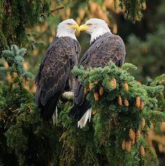 Eagles, Bald Eagle, Birds, Eagle, Bird, The Eagles, Birdwatching