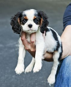Meet Jackson, a 12-week-old Cavalier King Charles spaniel puppy.