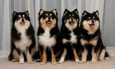 finnish Lapphund photo | Finnish Lapphund quartet :) | Dogs
