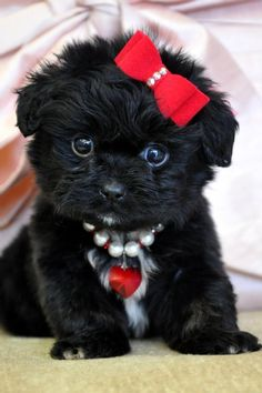 Awww...so cute! Teacup Peekapoo Puppy :)