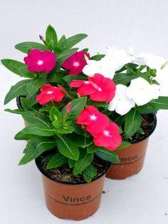 Begonia, Garden Plants, Indoor Plants, Plantar, My Flower, Evergreen, Container Gardening, Garden Design, Flora
