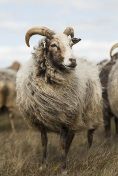 """eredion: """" eredion: """" Gutefår II by Gustaf Emanuelsson """" """" Farm Animals, Animals And Pets, Funny Animals, Cute Animals, Beautiful Creatures, Animals Beautiful, Photo Animaliere, Funny Photoshop Pictures, Sheep Art"""