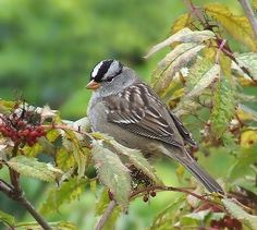 After vegetation recovered in some empty lands in California, Oregon and Washington, during the last three decades, a scientist noticed a lowered pitch in male white-crowned sparrows. She also discovered that the birds slowed down their singing. The biologist Elizabeth Derryberry considers that in such a way the love songs of this species of sparrows are carried better through a more abundant landscape.
