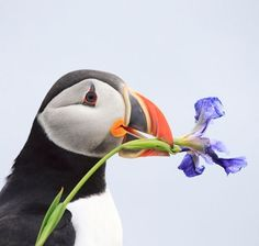Atlantic Puffin with a wild iris, by Megan Lorenz