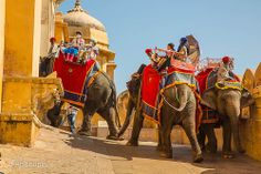 Elephants entering the Amber Fort, Jaipur Jaipur, Elephants, Camel, India, Animals, Goa India, Animales, Animaux, Camels