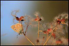PHOTOGRAPHIES: Azuré commun I Polyommatus icarusChemin du Merle b...