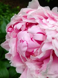 Pink Peonies on http