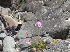 Coastal May flora - sea pink or thrift