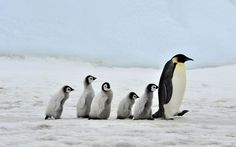 Photo about Emperor Penguin with chick Snow Hill, Antarctica 2010 on the icebreaker Kapitan Khlebnikov. Image of antarctica, beach, emperor - 16894266 Penguin World, Penguin Life, Penguin Books, March Of The Penguins, Baby Penguins, Penguin Facts, Baby Animals, Cute Animals, Nature