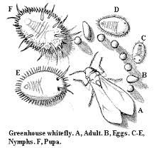 Image result for whitefly