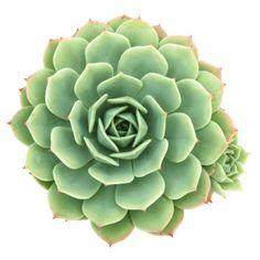 Echeveria 'Abalone' or Echeveria 'Green Abalone' Succulent Plant