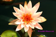 Water Lily Hybrid Nymphaea Peach Glow