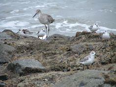 Edisto Island Sand Pipers