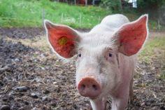 Híbridos entre humanos y cerdos, primer paso para el cultivo de órganos - https://www.vexsoluciones.com/noticias/hibridos-entre-humanos-y-cerdos-primer-paso-para-el-cultivo-de-organos/
