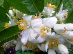 Lindas flores de laranjeira.