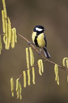 Great Tit(Parus major) photographed among the catkins