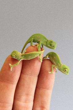 You're cute but are you baby chameleon cute? Baby Animals Pictures, Cute Animal Photos, Animals And Pets, Cute Little Animals, Cute Funny Animals, Baby Chameleon, Cute Lizard, Cute Reptiles, Cute Creatures